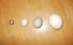 quail, bantam, chicken, goose