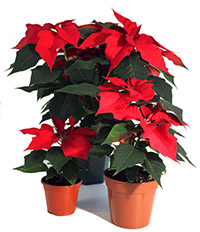 poinsettia-group