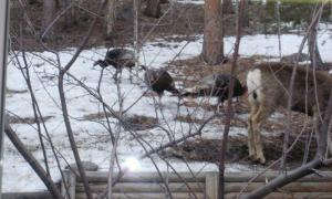 turkeys and deer