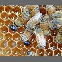 hive+beetle