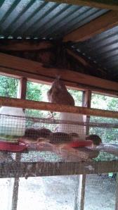 little grey hen