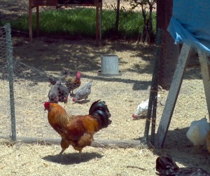 rooster looking at bantams