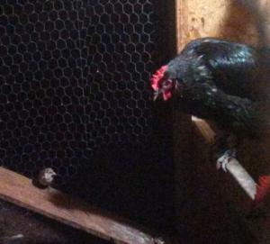 bird in coop