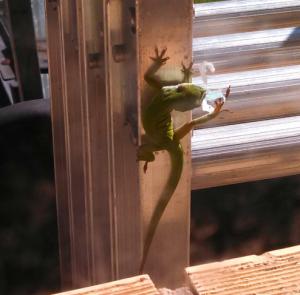 lizard foot