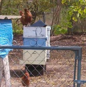 hens watching-2