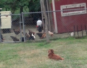 bella and chickens